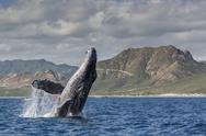 Adult humpback whale (Megaptera novaeangliae), breaching in the shallow waters Stock Photos