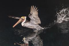 An adult brown pelican (Pelecanus occidentalis) at night near Isla Santa Stock Photos