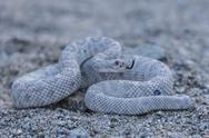 Ash colored morph of the endemic rattleless rattlesnake (Crotalus catalinensis), Stock Photos