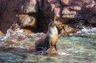 Adult California sea lion (Zalophus californianus), at Los Islotes, Baja Stock Photos