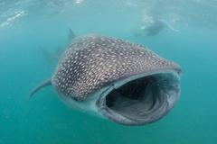 Whale shark (Rhincodon typus) underwater with snorkelers off El Mogote, near La Kuvituskuvat
