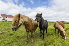 Adult Icelandic horses (Equus ferus caballus), on a farm on the Snaefellsnes Stock Photos