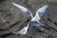 Adult Arctic tern (Sterna paradisaea) returning from the sea with fish for its Stock Photos