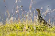 An adult female willow ptarmigan (Lagopus lagopus) in summer plumage on the Stock Photos