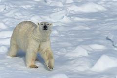 Male polar bear (Ursus maritimus) walking over pack ice, Spitsbergen Island, Kuvituskuvat