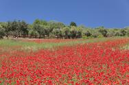 Field of poppies and olive trees, Valle d'Itria, Bari district, Puglia, Italy, Stock Photos