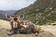 Yak in Drak Yerpa, Tibet, China, Asia Stock Photos