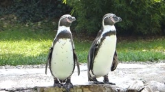 Two young penguins curious Stock Footage