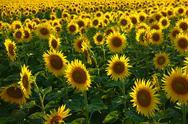 Sunflowers, near Chalabre, Aude, France, Europe Stock Photos