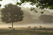 Morning mist, sheep feeding, Eden Valley, Cumbria, England, United Kingdom, Stock Photos