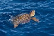 Juvenile loggerhead turtle (Caretta caretta) swimming with head raised above the Stock Photos