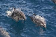 Clymene dolphin (Stenella clymene), Senegal, West Africa, Africa Stock Photos