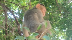 Indian macaques, bonnet macaques, or lat. Macaca radiata Stock Footage