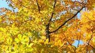 Autumn leaves on branches of chestnut tree slightly moving in wind Stock Footage