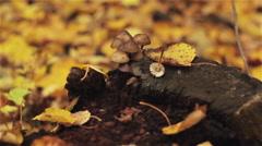 Mushrooms on a stump, autumn leaves Stock Footage