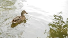 Duck swims and dives in the pond Stock Footage