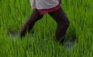 Farmer in rice field Stock Photos