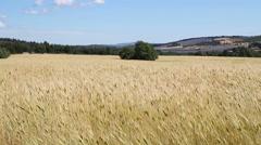 Wheat field in windy day. Stock Footage