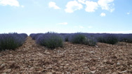Lavender field. Provence Stock Footage