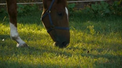 Bay thoroughbred horse grazes on a green lawn, wild horse Stock Footage