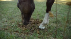 Bay thoroughbred horse in the paddock sniffing something on the ground, Stock Footage