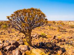 Quiver tree forest in Namibia Stock Photos