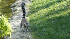 Lemur on the grass Stock Footage