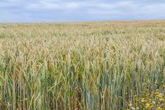 Wheat field - barley Stock Photos