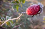 Rose hip with frost Stock Photos