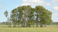 Birch tree grove in scenic rural landscape, Sweden Stock Footage