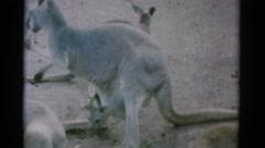 1962: kangaroos open space jump around desert area CATSKILL, NEW YORK Stock Footage