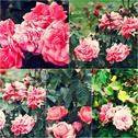 Close-up of garden roses on bush. Collage of colorized images. Toned photos set Stock Photos