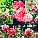 Garden roses on bush. Collage of colorized images. Toned photos set Stock Photos