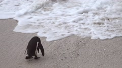 Penguins (at Boulders Beach, South Africa) as 4K UHD footage Stock Footage
