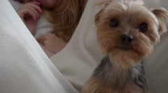 A close up of yorkshire terrier lick oneself in front of sleeping couple Stock Footage