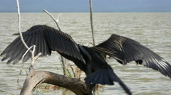 An african darter lake dries its wings at lake baringo, kenya Stock Footage
