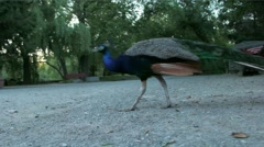 Peacock struts its stuff Stock Footage