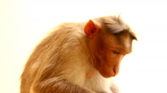 Indian macaques, bonnet macaques, or (lat. Macaca radiata). Stock Footage