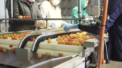 Workers Sorting Cherry Tomatoes On Conveyor System Stock Footage