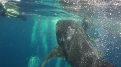 Whale shark cleans gills Stock Footage