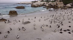 African Penguins in Simonstown, South Africa (4K UHD) Stock Footage