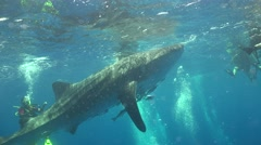 Whale shark on the surface Stock Footage
