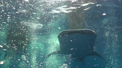 The whale shark swims through a lot of bubbles Stock Footage