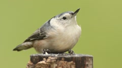 Nuthatch On A Tree Stock Footage