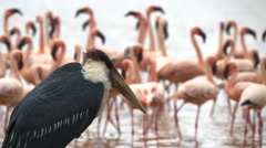 Close up of a marabou stork and flamingos at lake bogoria in kenya Stock Footage