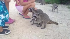 Pygmy Raccoon (Procyon pygmaeus) Critically endangered, Cozumel Island, Mexic Stock Footage