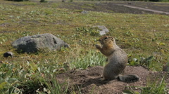 Arctic ground squirrel eating seeds on rock. Kamchatka Stock Footage