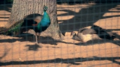 Male and female peacock birds in zoo cage Stock Footage