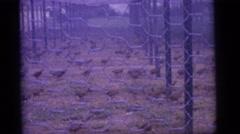 1965: an outdoors chicken farm CAMDEN, NEW JERSEY Stock Footage