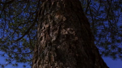 MoCo Tracking Astro Timelapse of Moonshadow Casting on Pine Tree -Long Shot- Stock Footage